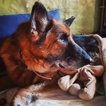 Azra the dog at the Big V sanctuary