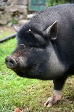 Phoebe the pig at Big V