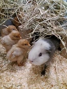 Pip the guinea pig at Big V