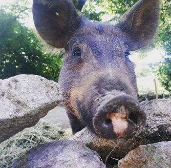 Teddy happy pig at Big V