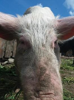 Blossom the pig
