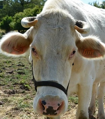 Photo of Duchess the cow
