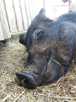 Bess the pig at the Big V sanctuary